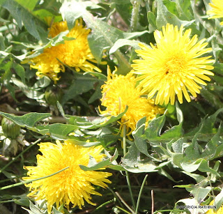Dandelion Jelly – Sweet like honey!