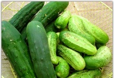 "Cucumbers on Left are ""Slicers"" on the Right are ""Picklers"""