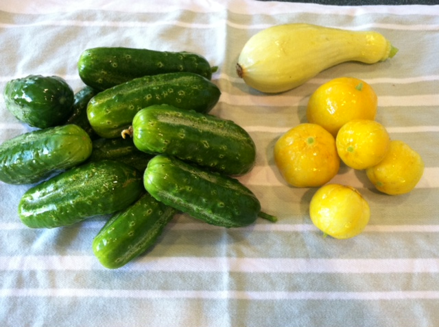 Pickling Cucumber from my garden (left) Lemon Cucumbers (right)
