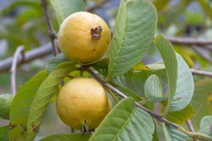 Ripe Mexican Guava