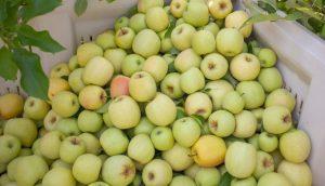 Apples Year Round